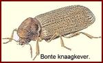 bonte-knaagkever-150k